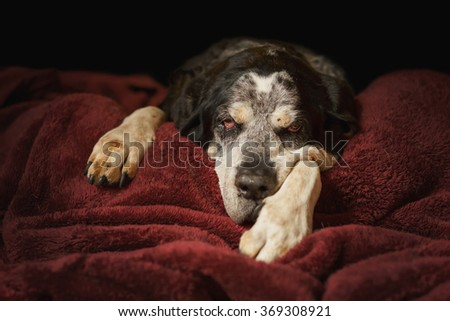 Old senior retired bluetick coonhound pet hunting dog lying down on blanket looking sleepy tired exhausted relaxed sad depressed sick ill frail comfortable lonely   - stock photo
