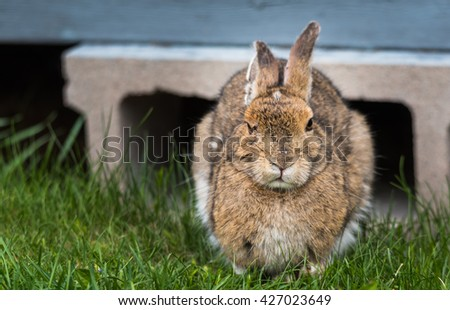 Old senior snowshoe hare, ears back, looking at camera, comes out from under his lodge in Springtime. - stock photo