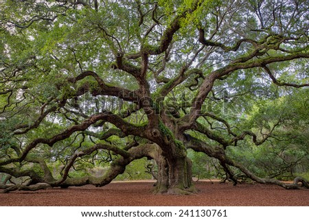 Old Southern live oak (Quercus virginiana) tree - stock photo
