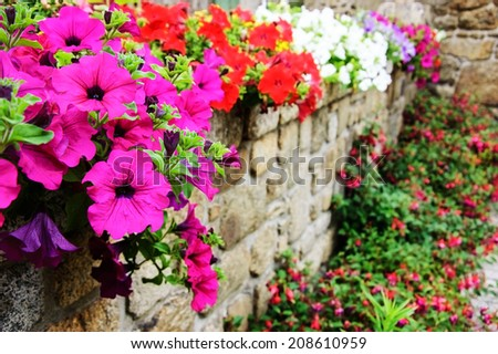 Old stone wall decorated with colorful petunia flowers in historic town Moncontour. Brittany, France. Selective focus on the buds. - stock photo