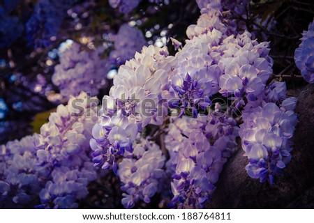 Old stone wall of abandoned manor overgrown with blooming Wisteria flowers . Light and shadow. Summer. Aged photo. - stock photo