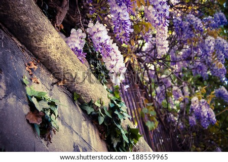 Old stone wall of abandoned manor overgrown with blooming Wisteria flowers . Summer. Light and shadow. Aged photo. - stock photo