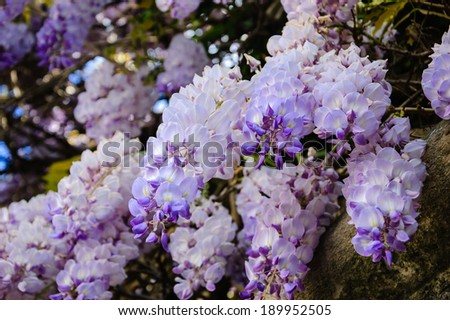 Old stone wall of abandoned manor overgrown with blooming Wisteria flowers. Summer. Light and shadow. - stock photo