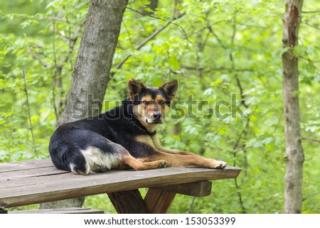 Old stray abandoned dog resting on wooden table in the forest and waiting for tourists to come and feed him. - stock photo