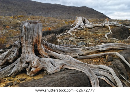 old stumps - stock photo