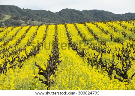 Old-style grape vineyard with yellow mustard cover-crop. - stock photo