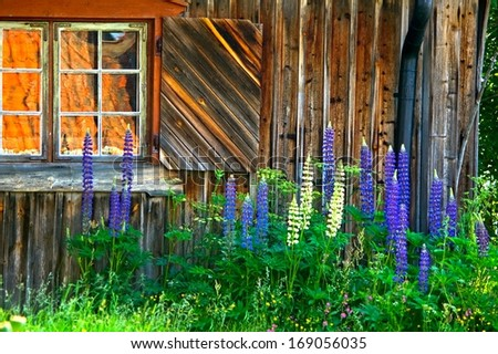 Old Swedish log house with window and lupine flowers in summer.