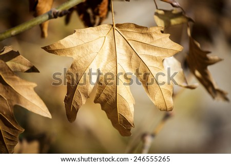 Old sycamore leaf on tree - stock photo