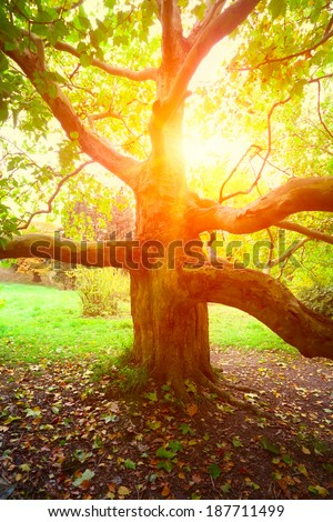 old sycamore tree and sun light in autumn season - stock photo