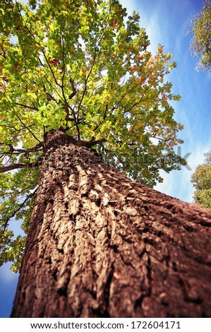 Old tall oak tree against the blue sky - stock photo