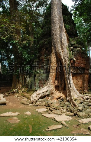 old tree in angkor temple