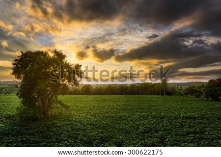 Old tree in Cassava, Tapioca or Manioc farm in sunset time, Chaiyaphum, Thailand - stock photo