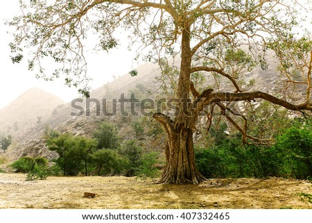 old tree in India
