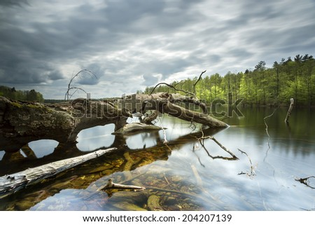 Old tree in north Poland.Bobiencino lake.Pomerania province./ Old tree  - stock photo