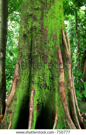 Old tree in the jungle on Oahu - stock photo