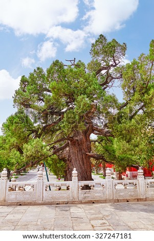 Old tree near Temple of Confucius at Beijing - the second largest Confucian Temple in China. Beijing. - stock photo