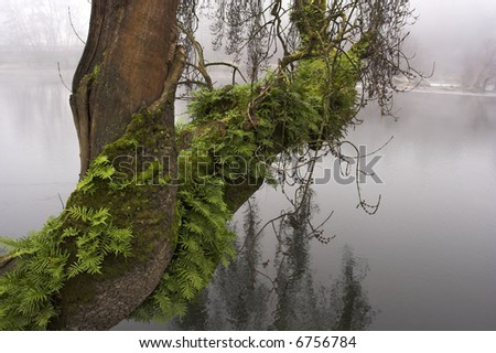 Old tree of the river Lima in Amarante, Portugal - stock photo