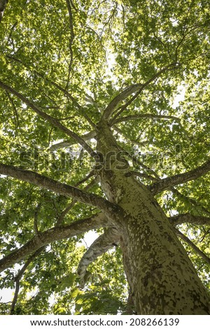 old tree - plane tree - stock photo