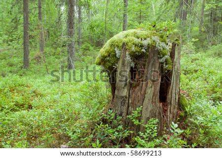 old tree stump - stock photo