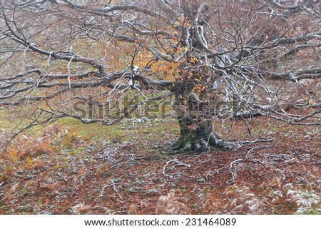 Old tree surrounded by thin fog in autumn - stock photo