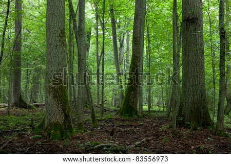 Old trees in natural stand of Bialowieza Forest  in summer - stock photo