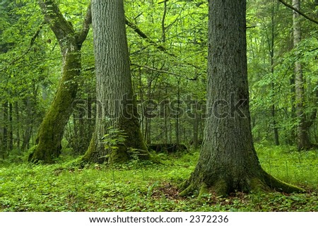 Old trees in the forest,middle europe,poland