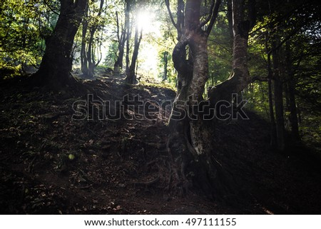 Old trees with roots sticking out of the ground in the forest with rays of sun between