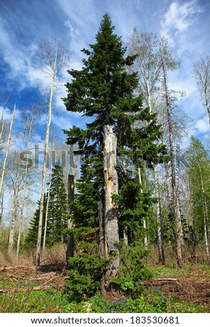 old trunk in spring forest in altai - stock photo