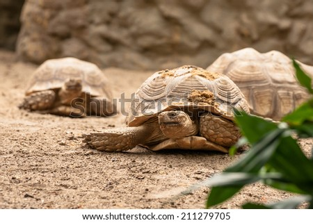 Old turtles crawling in the sand in natural enviroment