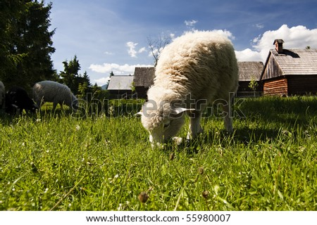 Old village with sheep in Slovakian countryside