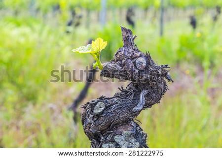 Old vine tree stem in a vineyard in Bingen - stock photo