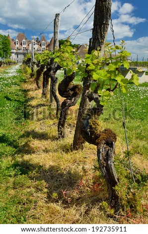 Old vines with gentle leaves and thick brown stems near the quaint Monbazillac castle.