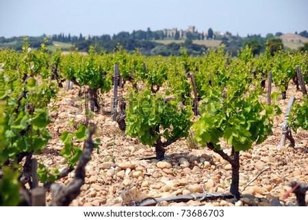 Old vineyard in France Cotes du Rhone - stock photo