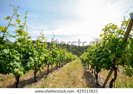 Old vineyard in the tuscany winegrowing area, Italy Europe - stock photo