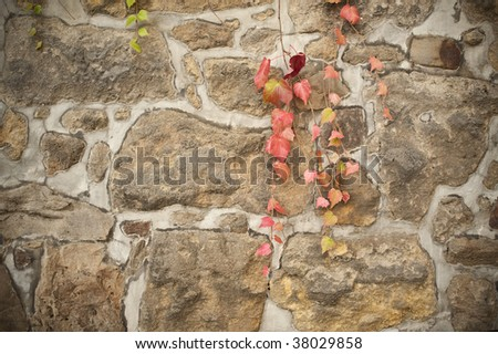 Old wall with red vine - stock photo