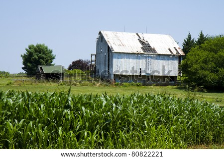 Old weathered and broken down barn in the midst of cornfield in country
