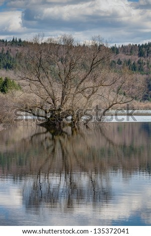 Old willow in the lake - stock photo