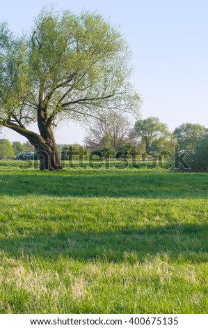 Old willow tree on green spring meadow in sunshine; Local recreation area; Spring beginning - stock photo