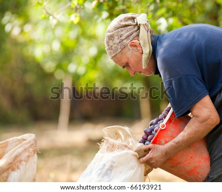 Old woman harvesting plums in an orchard - stock photo