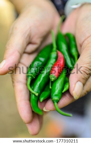 Old Woman holding fresh red chili peppers in her hands - stock photo