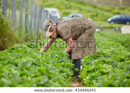 Old woman picking strawberries in a field - stock photo