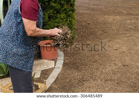 Old woman preparing dahlias for planting in spring - stock photo