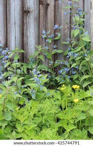 Old Wooden Door Overgrown With Blue Flowers, Yorkshire. - stock photo