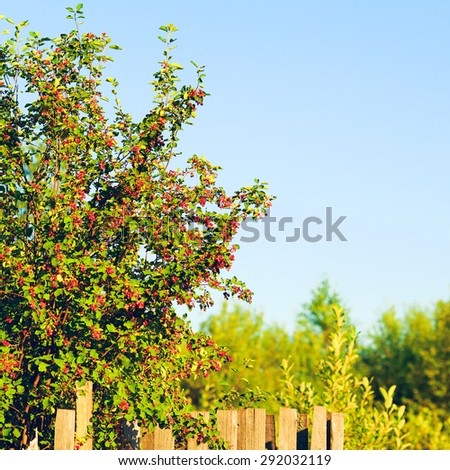 old wooden fence and berry bushes at summer day - stock photo