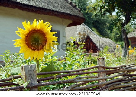 Old wooden house with sunflower and wooden fence - stock photo