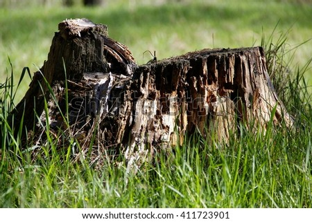 Old wooden stump. Spring forest - stock photo
