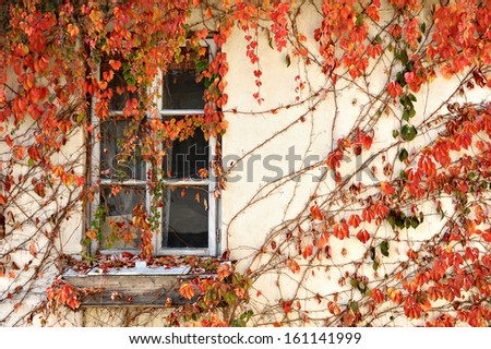 Old wooden window covered by red ivy leaves - stock photo
