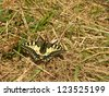 Old World Swallowtail butterfly in natural habitat (Papilio machaon) - stock photo