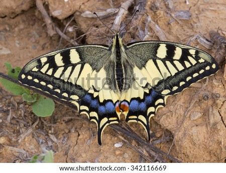 Old World Swallowtail (Papilio machaon) - stock photo