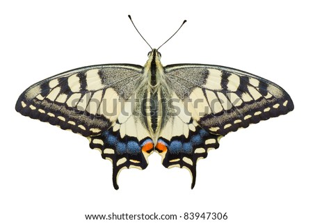 Old World Swallowtail (Papilio machaon) butterfly isolated on white background. - stock photo